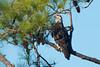 Young Intruder Eyeballing Nest (stephaniepluscht) Tags: alabama 2017 gulf state park bald eagle eagles nest