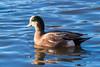 American Wigeon (Chatham Sound) Tags: britishcolumbia canada 124 georgecreifelmigratorybirdsantcuary latefall ducks americanwigeon water birds sigma150600mmsportlens nikond5 dabbling fauna