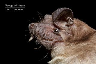 Angolan Free-tailed Bat (Mops condylurus)