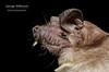 Angolan Free-tailed Bat (Mops condylurus) (George Wilkinson) Tags: angolan freetailed bat mops condylurus tadarida molossidae chiroptera african conservation abc canon 60mm macro flash 7d wildlife africa mammal malawi vwaza marsh nature reserve