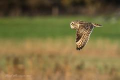 Short Eared Owl (muppet1970) Tags: shortearedowl owl suffolk flight wildlife nature