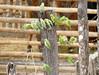 Periquito del Pacïfico, Pacific Parrotlet (Forpus coelestis)