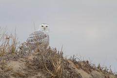 Snowy Owl (gauravk.sharma) Tags: owls owl raptor wildlife snowy arctic birds animal bird birdwatching birding