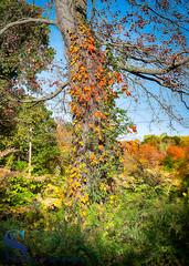 Colors up the tree_ (Singing With Light) Tags: 2017alpha6500 27th eisenhowerpark mondopondtrails milford mirrorless october singingwithlight sonya6500 morningwalk photography pondoponds singingwithlightphotography sony sunrise