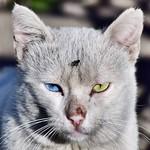 #ojos #eyes #gatoscallejeros #cats #photocats #instacats #neko #meow #gatze #gatto #gato #whitecat #gatoblanco #heterocromia #catsofintagram #catsofinsta #catsoftheworld #chat thumbnail