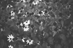 Dying Black-Eyed Susans (Caroline Kutchka Folger) Tags: blackandwhite flowers fomapan 35mmfilm 35mm bw film analog canonae1 blackeyedsusan death autumn decay sleep analogphoto femalephotographer october otono fall focous softfocus
