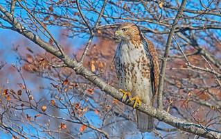 Re-tailed Hawk: Buteo jamaicensis