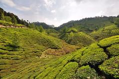 India - Kerala - Munnar - Tea Plantagen - 225 (asienman) Tags: india kerala munnar teaplantagen asienmanphotography