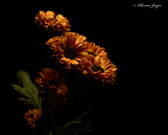Waiting in the Dark 1114 Copyrighted (Tjerger) Tags: nature beautiful beauty black blackbackground bloom blooming blooms brown bunch closeup dark fall flora floral flower flowers green group macro mum orange plant portrait wisconsin yellow mums waiting waitinginthedark natural