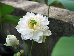 Sacred Lotus 'White Maldives' Wahgarden Thailand 8 (Klong15 Waterlily) Tags: whitemaldives lotus sacredlotus thailotus flower lotusflower wahgarden