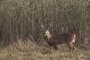 Chevreuil / Deer (ALLAN .JR) Tags: deer chevreuil cerf nature wildlife ilestbernard auto automne fall buck nikon