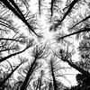 Grafite #1 (Luca William) Tags: alberi alberimorti incendio fire trees deadtrees monocromo biancoenero