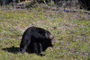 American Black Bear (Ursus Americanus), Alaska Highway  -  (Selected by GETTY IMAGES) (DESPITE STRAIGHT LINES) Tags: nikon d800 nikond800 nikkor200500mm nikon200500mm nikongp1 paulwilliams despitestraightlines flickr gettyimages getty gettyimagesesp despitestraightlinesatgettyimages bear blackbear adultblackbear wildanimal wildbear claws paw paws fur nature mothernature ursusamericanus animalia carnivora ablackbeareatinggrass blackbearonalaskahighway