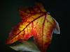 Alexa, show me the autumn! (BeMo52) Tags: amberbaum ambertree blatt colouring fall flora garten herbst laub leaf macro makro mirror natur nature red rot spiegel herbstfärbung onesingleleaf smileonsaturday