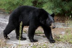 Wet bear (Seventh day photography.ca) Tags: blackbear bear animal nature wildanimal wildlife predator summer ontario canada mammal chrismacdonald 7thdayphotography yearling