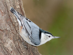 White Breasted Nuthatch (tresed47) Tags: 2017 201711nov 20171119chestercountybirds birds canon7d chestercounty content fall folder home november nuthatch pennsylvania peterscamera petersphotos places season takenby us whitebreastednuthatch