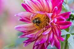 Pink Dahlia Bee (Patti Deters) Tags: bee dahlia flower pink pretty bumblebee insect bug plant blooming blossom flowering pollen close macro
