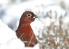 Red Grouse (Martial2010) Tags: red grouse angus glen canon snow