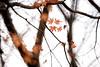 Maple 楓葉 (MelindaChan ^..^) Tags: chanmelmel mel melinda melindachan leaf eaves plant bokeh art tree branch maple 楓葉 gyeongju skorea 韓國 慶州 fall autumn 楓 葉 leaves reflexlens minolta250mmf56