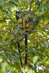 Lumholtz Tree-kangaroo - Mother and Joey (Caleb McElrea) Tags: athertontableland farnorthqueensland wettropicsofqueensland worldheritagearea unesco queensland australia rainforest tropical hot biodiversity wildlife wildlifephotography neradateafarm lumholtztreekangaroo treekangaroo macropod arboreal cute marsupial mammal rare