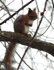 Wet Squirrel (Wanha-Erkki, Old Eric, Gammal Erik, Старая) Tags: redsquirrel orava sciurusvulgaris