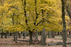 Autumn luminance (macal1961) Tags: tree autumn richmond luminance light colour nature vibrance season change yellow gold