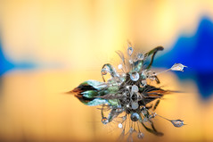 Dandelion Experiments 3.0 nikon d300s (Mario jr Nicorelli ( Salgareda Treviso )) Tags: nikon nikond300s nicorelli nicorellimario d300s salgareda sandonàdipiave marionicorelli macrofotografia macro drops fotografia fotografico fiori flowers sigma