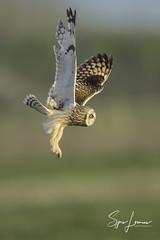Velduil-20230 (Sjors loomans) Tags: bird birds prey nature natuur natuurfotografie outdoor owl owls roofvogels short eared velduil vogel wildlife sjors loomans holland