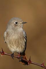 Codirosso-Redstart. (Riccardo Bocconi.) Tags: