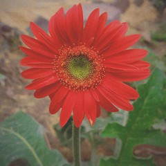 Beautiful Daisy. (amrelshazly535) Tags: flower flora floral wildflowers wild focus dof red yellow green leaves daisy nature natural colors colorful outsides outdoors garden mobilesnap 7dwf