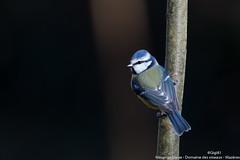 Mésange bleue (gilbert.calatayud) Tags: cyanistescaeruleus eurasianbluetit mésangebleue paridés passériformes bird oiseau laddo mazères ariège domaine des oiseaux