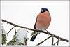 Gimpel (Gerrit Nitsch) Tags: vogel standvogel bird pyrrhulapyrrhula dompfaff blutfink bullfinch
