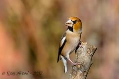 xxD40_6380 (Eyas Awad) Tags: eyasawad nikond4 sigma500f45 nikond800 nikonafs300mmf4 bird birds birdwatching wildlife nature frosone coccothraustescoccothraustes
