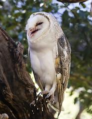 Barn Owl Laughing (whereiscarmensd) Tags: owl barn barnowl smile wild wildlife travel outdoors australia park animal animals bird birds nature natural native