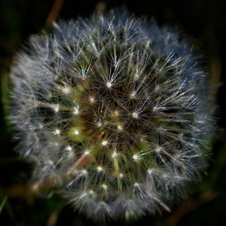 Macro puff ball dandelion