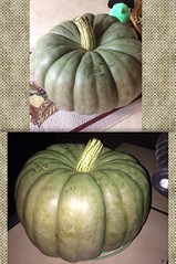 Punkins 💚🎃 (thedisneyprincesswhowaspromised) Tags: homegrown green pumpkins