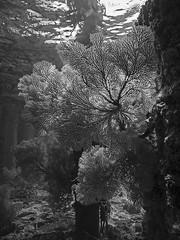 Sea fan in available light, Gorgonie im natürlichen Gegenlicht (scubaluna) Tags: seafan gorgoniancoral gorgonie seefächer pier jetty pfähle sw schwarzweiss mnochrome blackandwhite outdoors nature landscape seascape animal wildlife sealife marinelife vertical hochformatgegenlicht availablelight backlight sunlight transparent durchlicht silhouette umriss scubalunaphotography olympusesystem e5 underwater undersea unterwasserfotografie indonesia asia southeastasia travel manado pulaubangka desakahuku seasoulsdivingresort celebessea