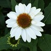 Wheaton, IL, Cantigny Park, White Coneflower and Bud (Mary Warren 10.0+ Million Views) Tags: wheatonil cantignypark nature flora blooms blossoms flowers plants bud white macro coneflower