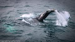 Whale_Iceland-1205-2 (Lothar Heller) Tags: akureyri buckelwale lotharheller megapteranovaeangliae walbeobachtung watching whale fauna fjord humpback iceland island islandia wal