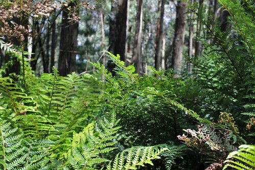 Ferns, Mount Macedon