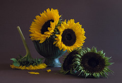 Last of the Sunflowers (loraine.french57) Tags: stilllife sunflowers petals pot stem yellow green