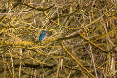 Kingfisher (Photography - KG's) Tags: bird birds kingfisher animals wildlife summerleys nature reserve