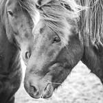 Icelandic horses thumbnail