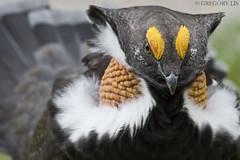 Male Sooty Grouse displaying (Gregory Lis) Tags: sootygrouse dendragapusfuliginosus britishcolumbia nikond810 gregorylis gorylis grzegorzlis nikon grouse