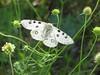 Parnassius apollo_Apollon_Bosnie (bouillons vagabonds) Tags: bosnie lépidoptères rhopalocères