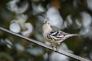 Backyard male Black and White Warbler 11-21-2017 _
