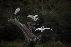 Flinch (gseloff) Tags: greategret bird roost nature wildlife armandbayou pasadena texas kayakphotography gseloff