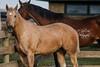 IMG_7276 (Tyler Ochs Photography) Tags: horses horse halter