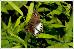7354 - white four ring butterfly (chandrasekaran a 50 lakhs views Thanks to all.) Tags: whitefourringbutterfly butterfly insects india kallar nilgiris tamilnadu canoneos760d tamronsp150600mmg2