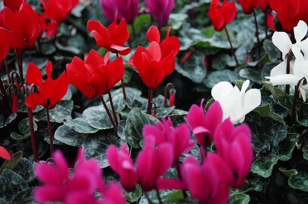 cay hoa anh thao